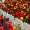 Rosencrantz Tulip Garden 4