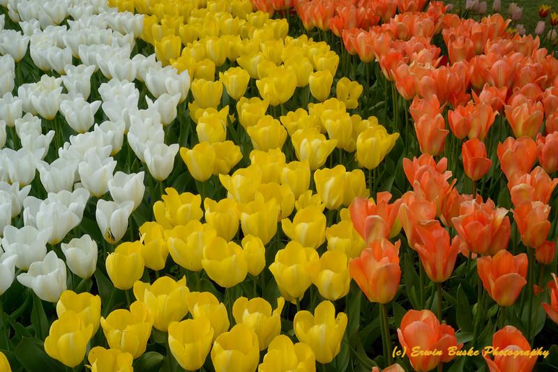 Rosencrantz Tulip Garden 3