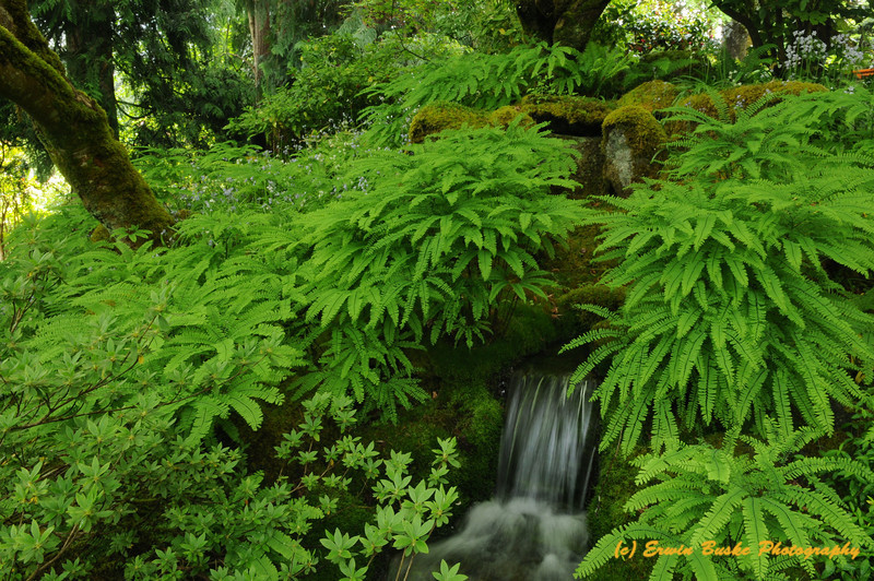 Japanese Garden Maidenhair Ferns