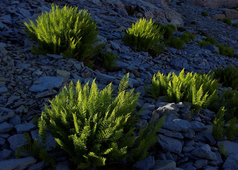 Spot Lighting on Alpine Ferns