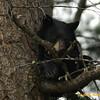Bear Cub,