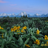 Arrowroot Flowers Gand Tetons