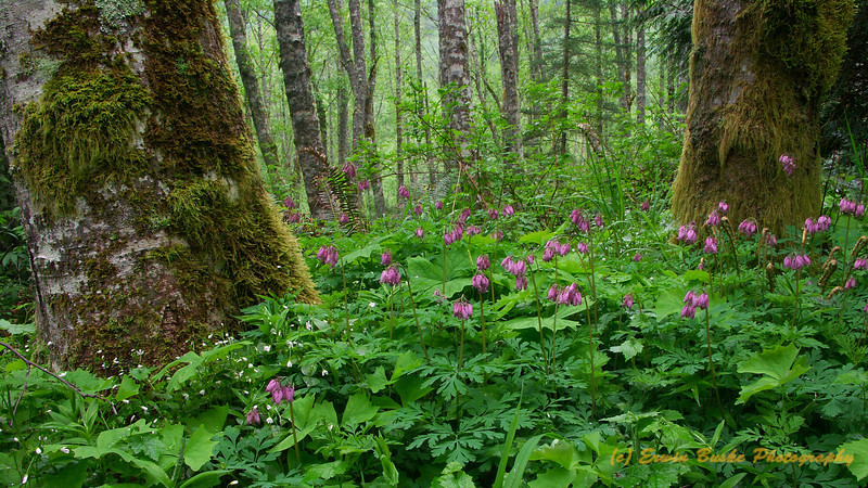 Alder Forest Bleeding Hearts