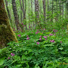 Alder Forest Bleeding Hearts