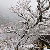 Mt. Si Vine Maple in the Winter Fog