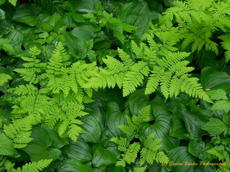 Oak Ferns and Wild Ginger