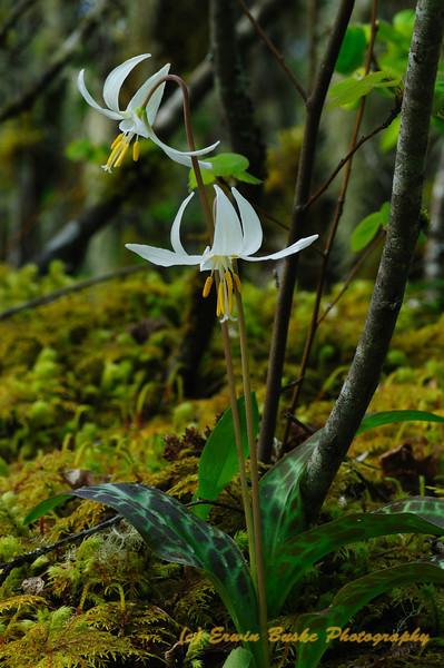 Fawn Lily Echo Mountain