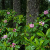 Pacific Rhododendrons