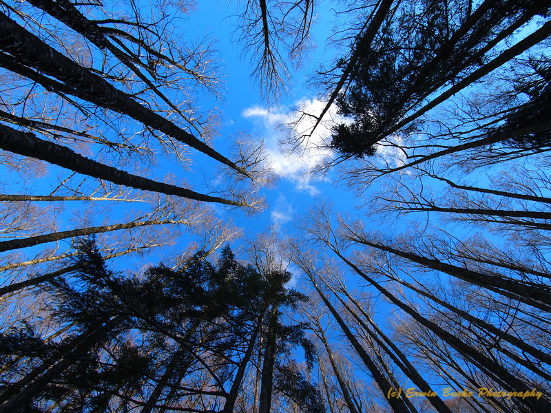 Tiger Mountain Winter Forest Canopy
