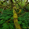 Vine Maple Understory