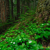 Canadian Dogwood Colony