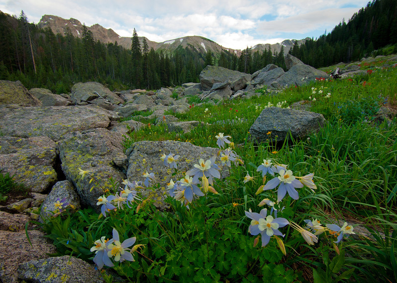Coumbine Flowers at Porcupine Creek Meadows