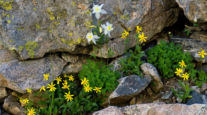 Sunflowers and Columbine