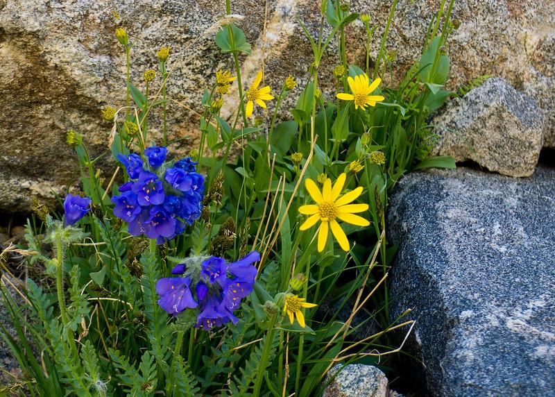 Skypilot and Sun Flowers