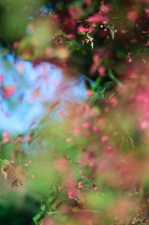 European spindle, Europäisches Pfaffenhütchen, Gewöhnlicher Spindelstrauch, Euonymus europaeus, Streuobstwiese, Dusslingen, Deutschland, Germany