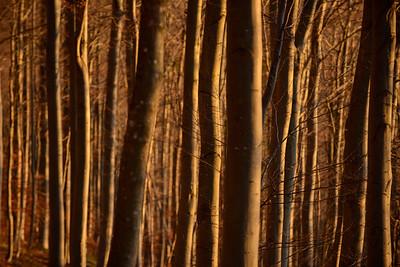 Sonnenuntergang im Buchenwald, Schwäbische Alb, Deutschland