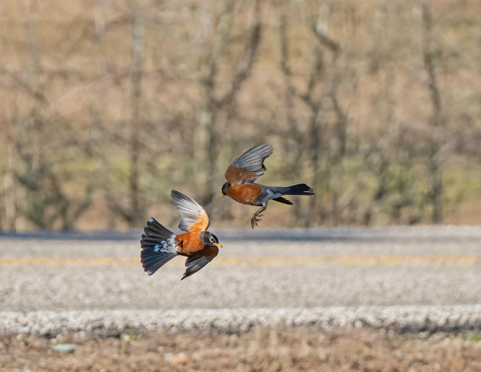 IMAGE: https://photos.smugmug.com/Private/n-XQ9MPw/Birds/Birds/i-5ZwdKxm/0/ebce589b/X3/American%20robin_9_2-22-21-33-X3.jpg