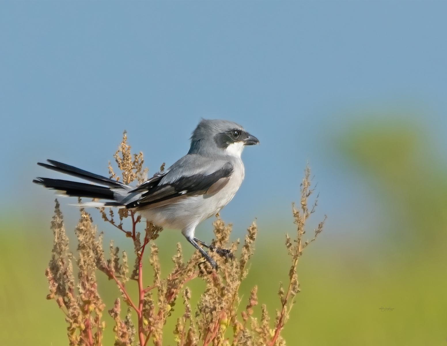 IMAGE: https://photos.smugmug.com/Private/n-XQ9MPw/Birds/Birds/i-9wrVLzX/0/aa99214b/X3/Loggerhead%20shrike%2010-1-19-9%20RS%206-2021-X3.jpg