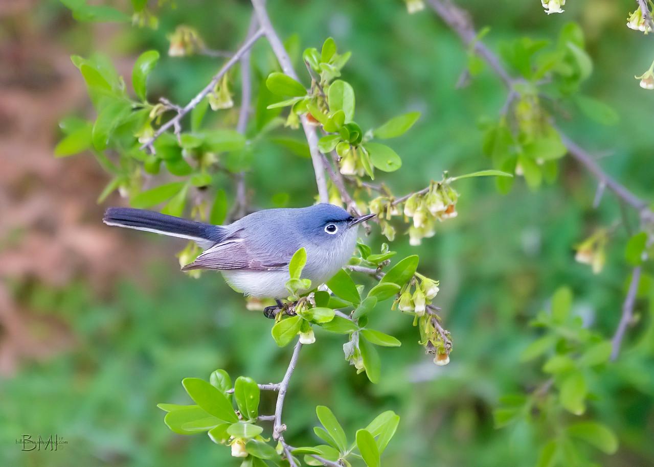 IMAGE: https://photos.smugmug.com/Beautyinthetreesandintheair/Birds/i-Cn7HFWt/0/36031acd/X2/Blue-gray%20gnatcatcher%204-13-19-10-X2.jpg