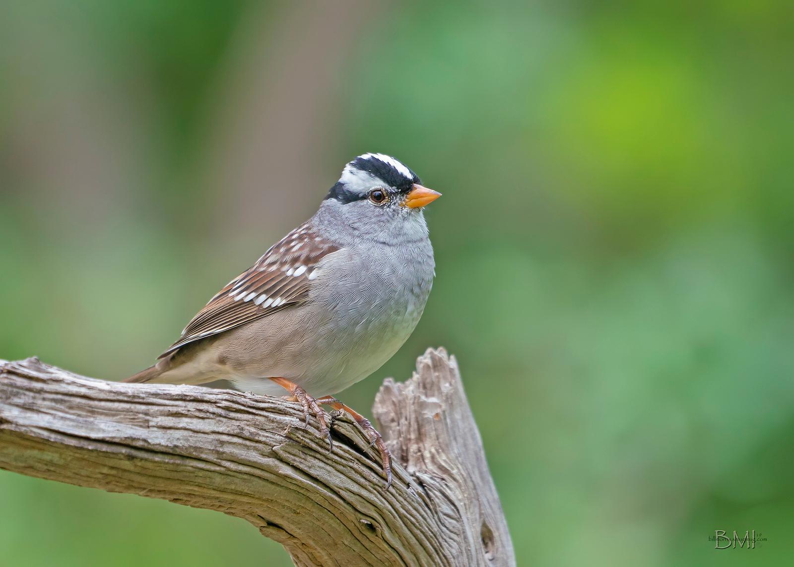 IMAGE: https://photos.smugmug.com/Private/n-XQ9MPw/Birds/Birds/i-CnHfvnR/1/5e6434a1/X3/White-crowned%20sparrow%204-13-19-12%20RS-X3.jpg