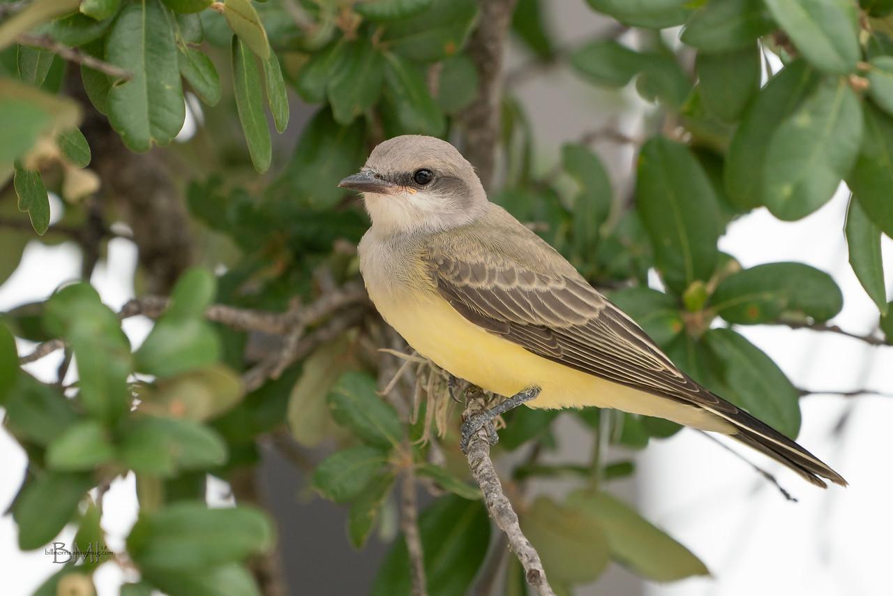 IMAGE: https://photos.smugmug.com/Beautyinthetreesandintheair/Birds/i-NJnxs9F/0/c5bc8f8a/X2/Western%20kingbird%207-4-18-34-X2.jpg