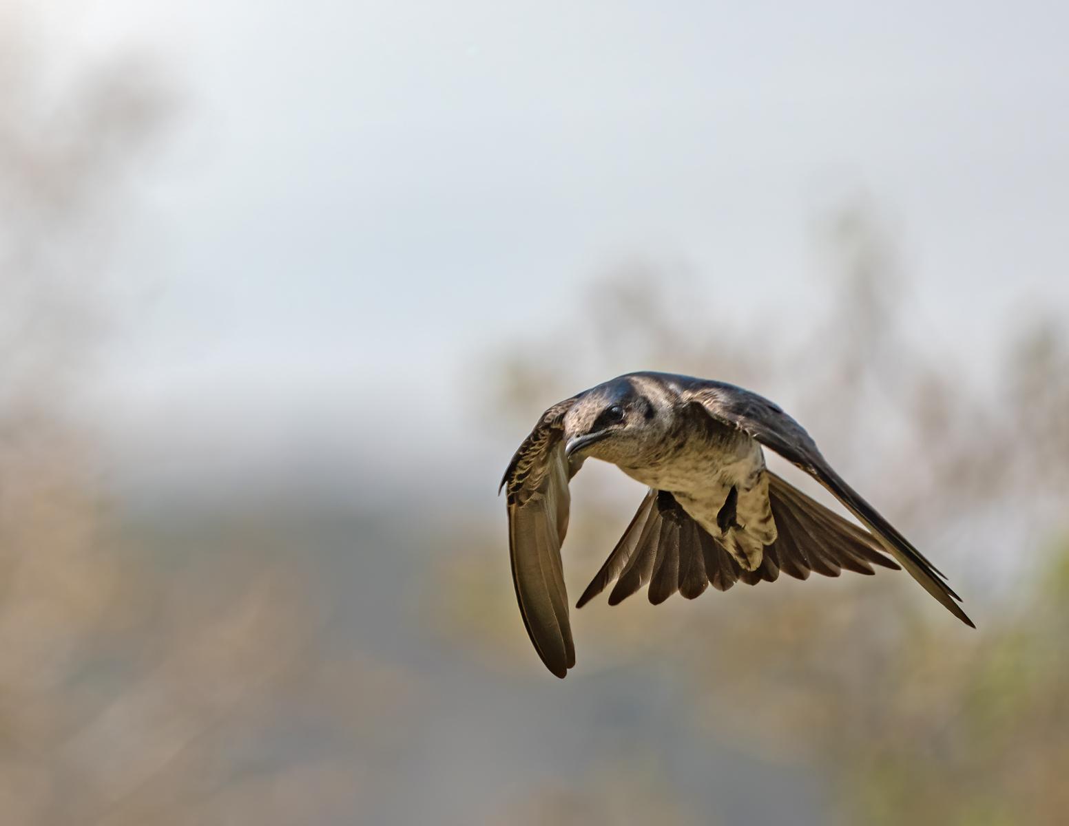 IMAGE: https://photos.smugmug.com/Private/n-XQ9MPw/Birds/Birds/i-Vvcx4km/0/89f82e94/X3/Purple%20martin_R3_4-2021-5-X3.jpg