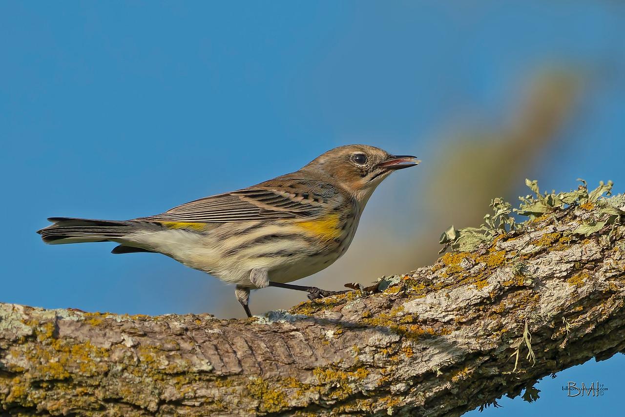 IMAGE: https://photos.smugmug.com/Beautyinthetreesandintheair/Birds/i-ZwqkkvG/0/facb7a96/X2/Yellow-rumped%20warbler%202-15-19-13-X2.jpg