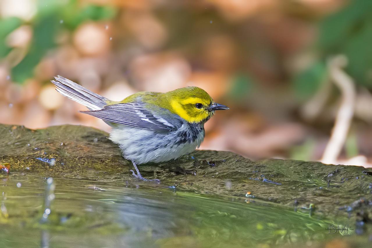 IMAGE: https://photos.smugmug.com/Beautyinthetreesandintheair/Birds/i-b9jz6fb/0/f8db9b13/X2/Black-throated%20green%20warbler%205-6-18-21-X2.jpg
