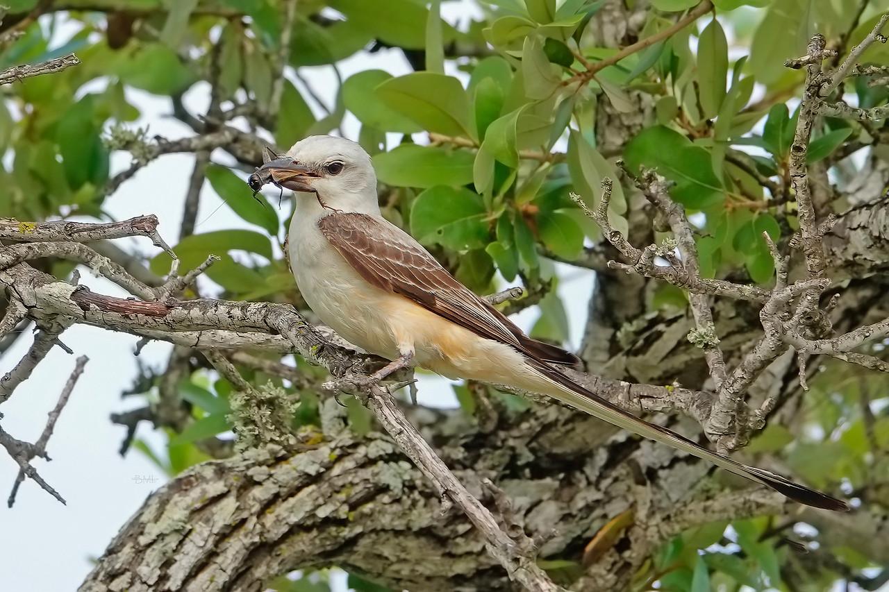 IMAGE: https://photos.smugmug.com/Beautyinthetreesandintheair/Birds/i-cKB6Qws/0/2c95560e/X2/Scissor-tailed%20flycatcher%207-3-18-11-X2.jpg