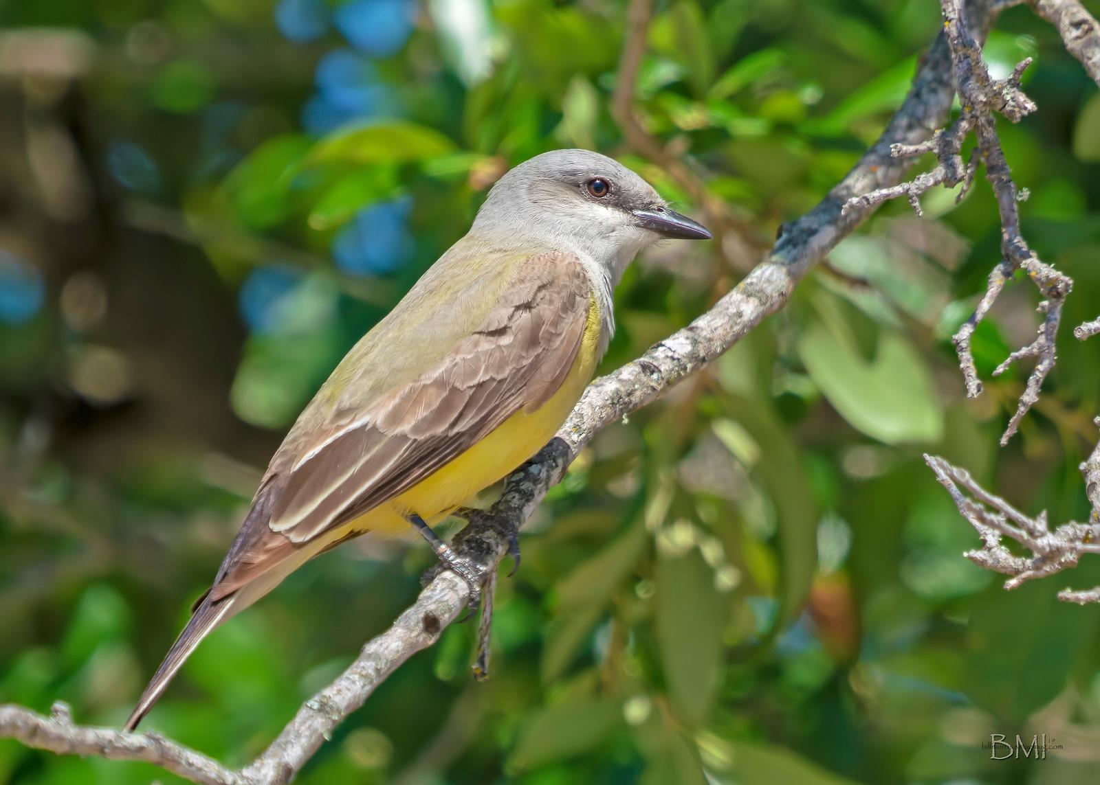 IMAGE: https://photos.smugmug.com/Private/n-XQ9MPw/Birds/Birds/i-j5RXX6g/2/f488a5fc/X3/Western%20kingbird%205-13-19-27-X3.jpg