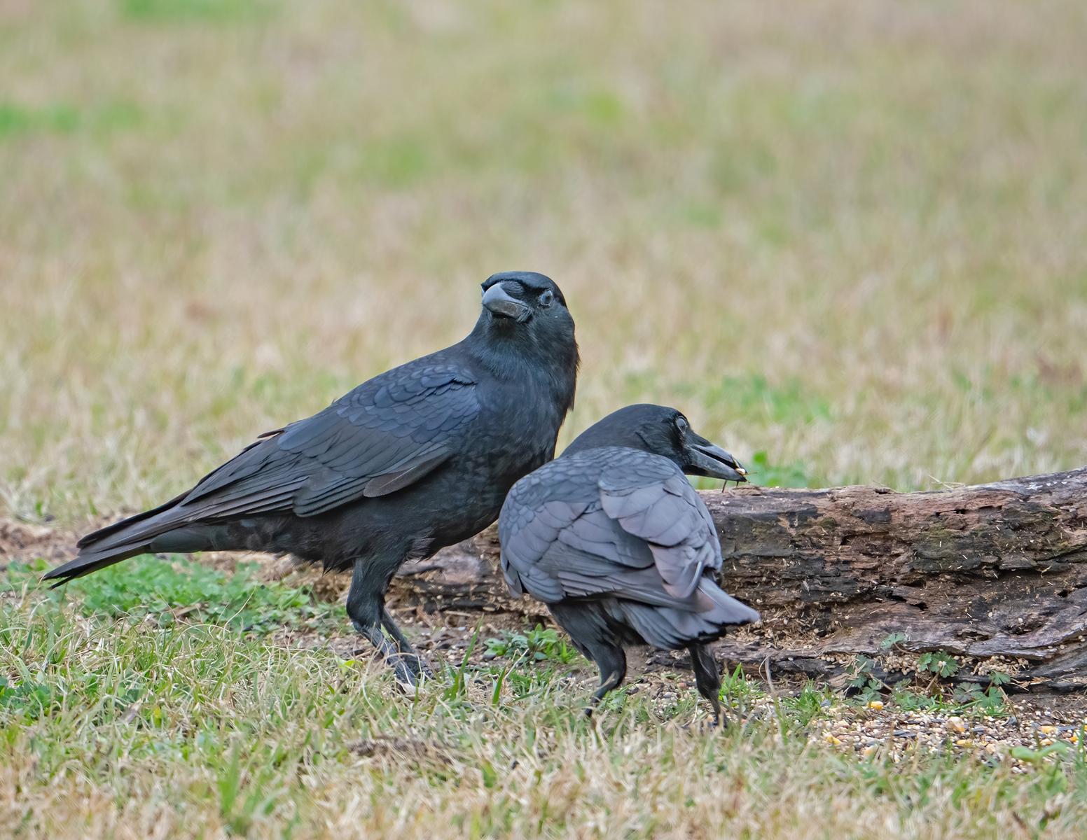 IMAGE: https://photos.smugmug.com/Private/n-XQ9MPw/Birds/Birds/i-pDgVcVx/1/3d1d35c5/X3/American%20crow_R3_1-1-21-24-X3.jpg