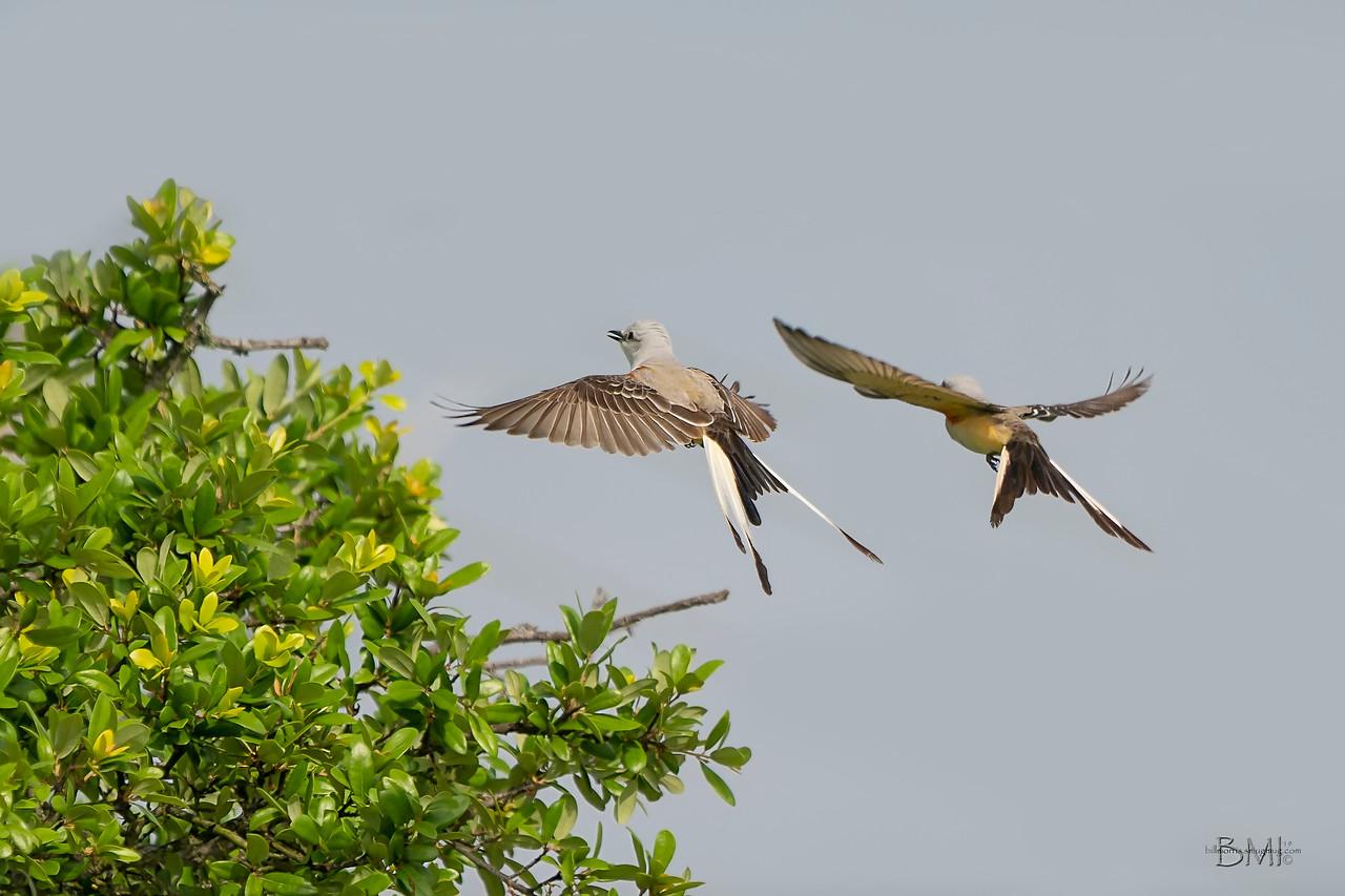 IMAGE: https://photos.smugmug.com/Private/n-XQ9MPw/Birds/Birds/i-qMhGQpM/1/9cdcfd28/X2/Scissor-tailed%20flycatcher%206-1-2019-108-X2.jpg