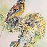 Dickcissel by Rose Marie Dagostino