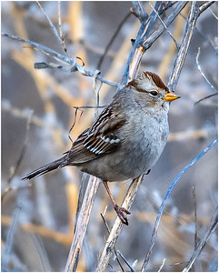Immature White-Crowned Sparrow by Karl Knapp