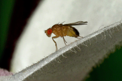 Fruitfly on Orchid 11/7/2013