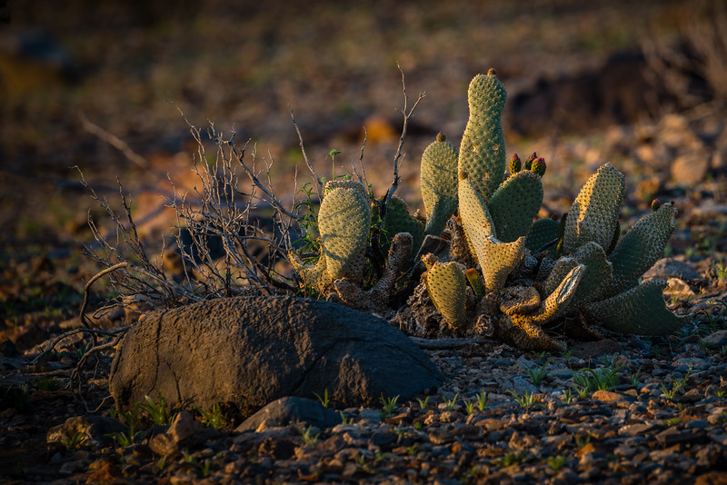 Surprised Prickly Pear