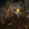 Golden Eagle