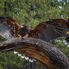 Harris' Hawks