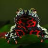 Fire Belly Frog 1 - Original (Schafer)