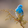Mountain Bluebird and Juniper 2