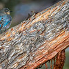 Mountain Bluebird and Juniper 1
