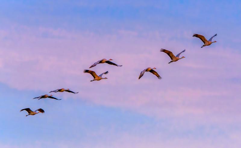 Sandhill Crane Morning