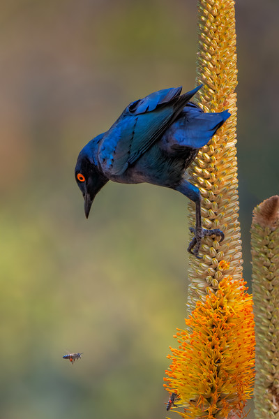 Cape Glossy Starling and Bees