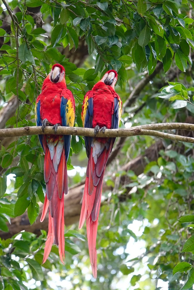 Macaw parrots at the Copan Ruins