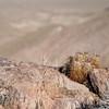Cactus at Dantes View - Death Valley - California