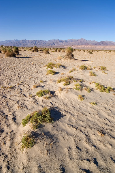 Devils Cornfield - Death Valley - California
