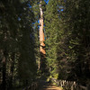 Sequoia NP - General Sherman Tree