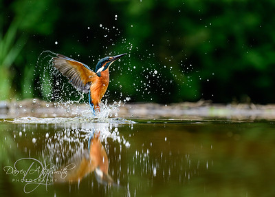 An beautiful Kingfisher explodes from the water from a failed dive. Photographed from a hide in Dumfries, Scotland.