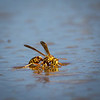Yellow Jacket Wasp resting on ranch pond