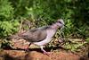 White-tipped Dove<br /> <br /> (Leptotila verreauxi)